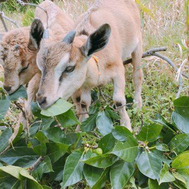 観光案内人小林と行くヤギ散歩